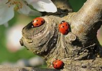 Three red ladybirds with black spots on a branch