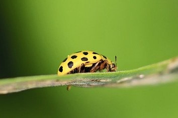 yellow lady bird with black spots on a strand of grass